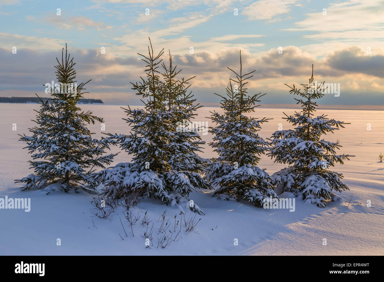 Winter spruce trees at dusk. - Stock Image