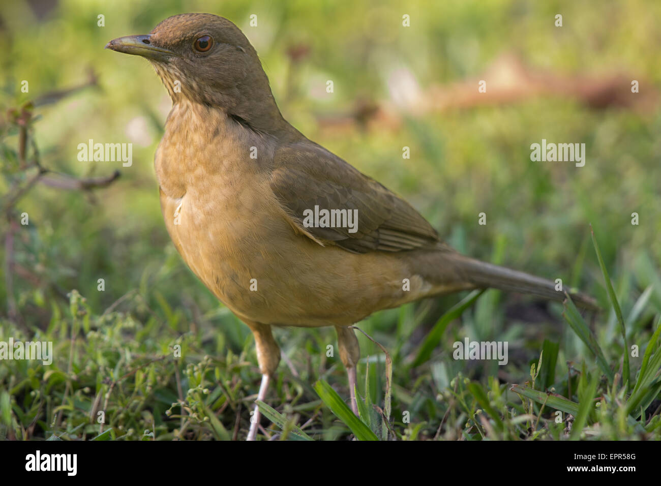Clay-coloured Robin (Turdus grayi) standing on a lawn - Stock Image
