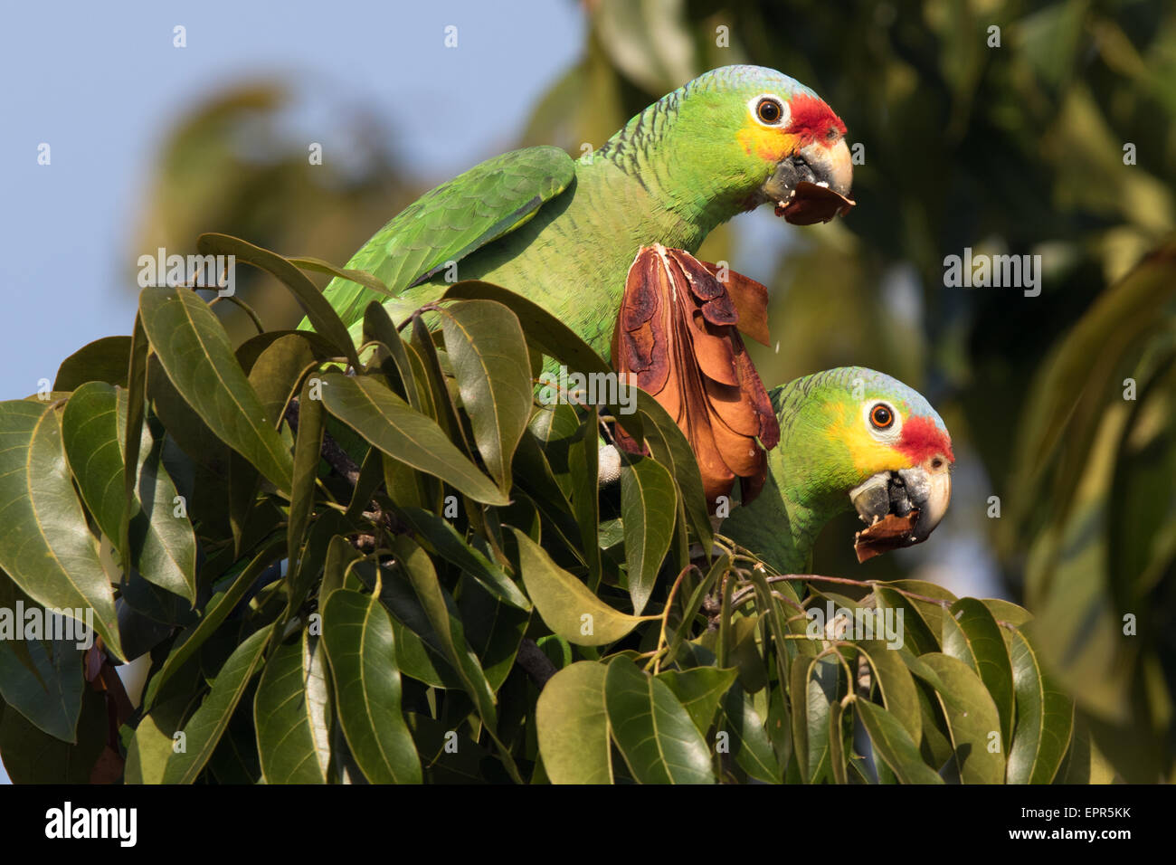 pair of Red-lored Parrot (Amazona autumnalis) feeding on seeds in a tree - Stock Image