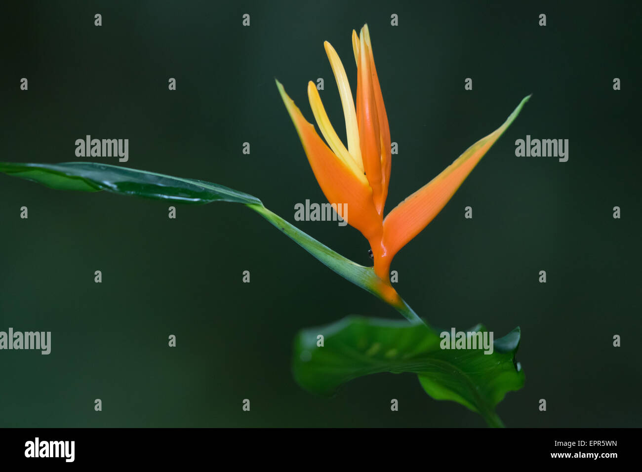 Bird-of-Paradise flower (Heliconiaceae) - Stock Image