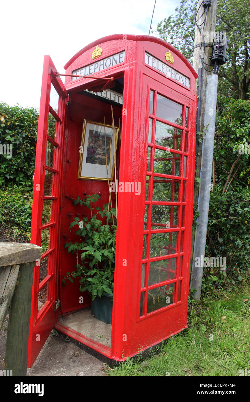 Tomato plants growing in an old phone box near Abergavenny - Stock Image