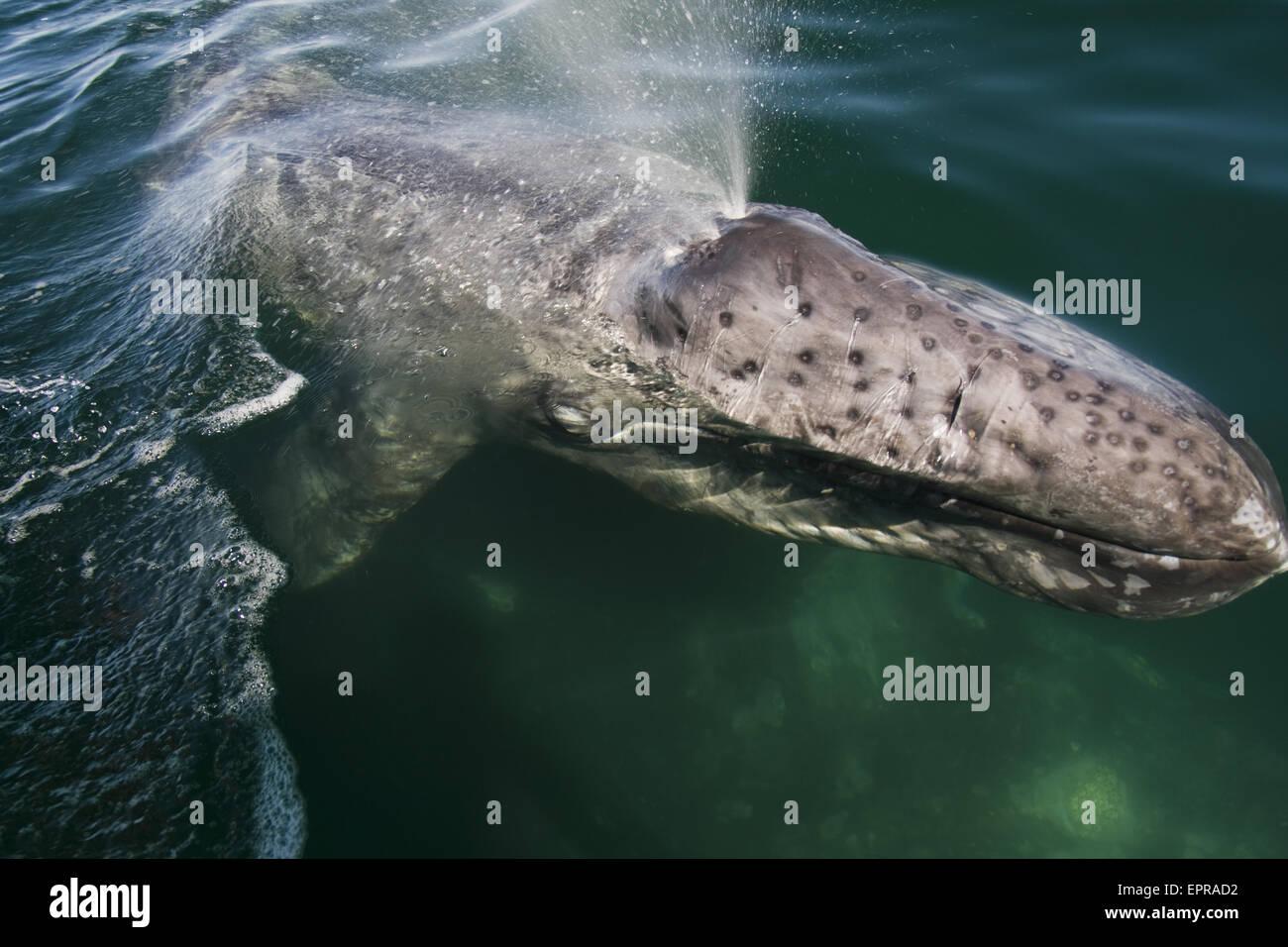 Gray whale calf (Eschrichtius robustus) in Laguna San Ignacio, Baja California, Mexico. Stock Photo