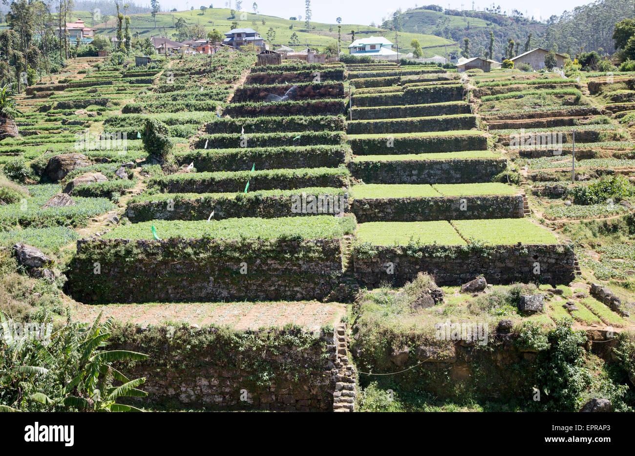 Intensive subsistence terraced farming near Nuwara Eliya, Central Province, Sri Lanka, Asia - Stock Image