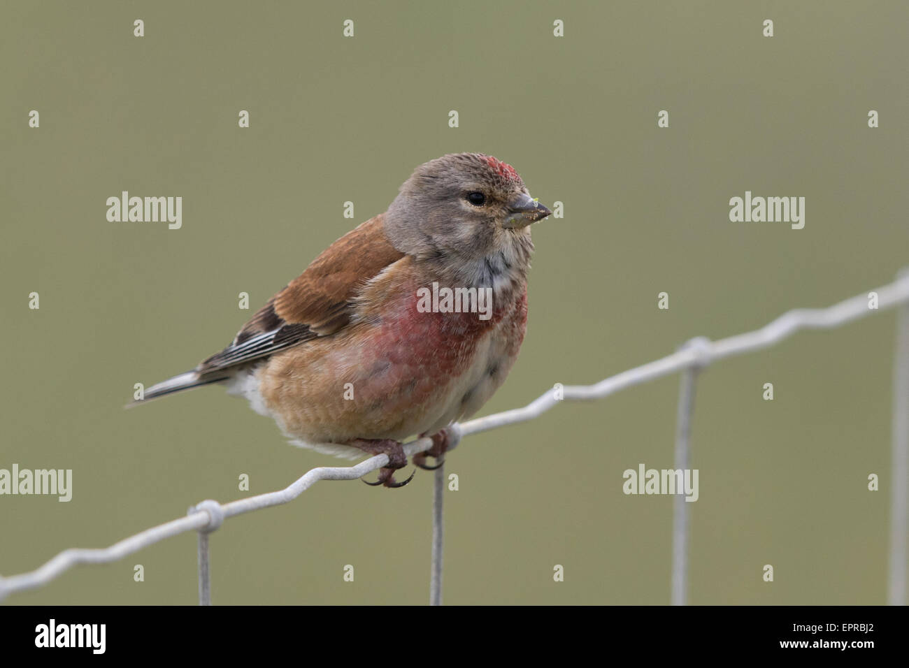 male Eurasian Linnet (Carduelis cannabina) perched on a wire fence - Stock Image