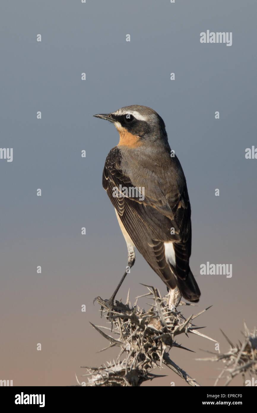 male Northern Wheatear (Oenanthe oenanthe) - Stock Image