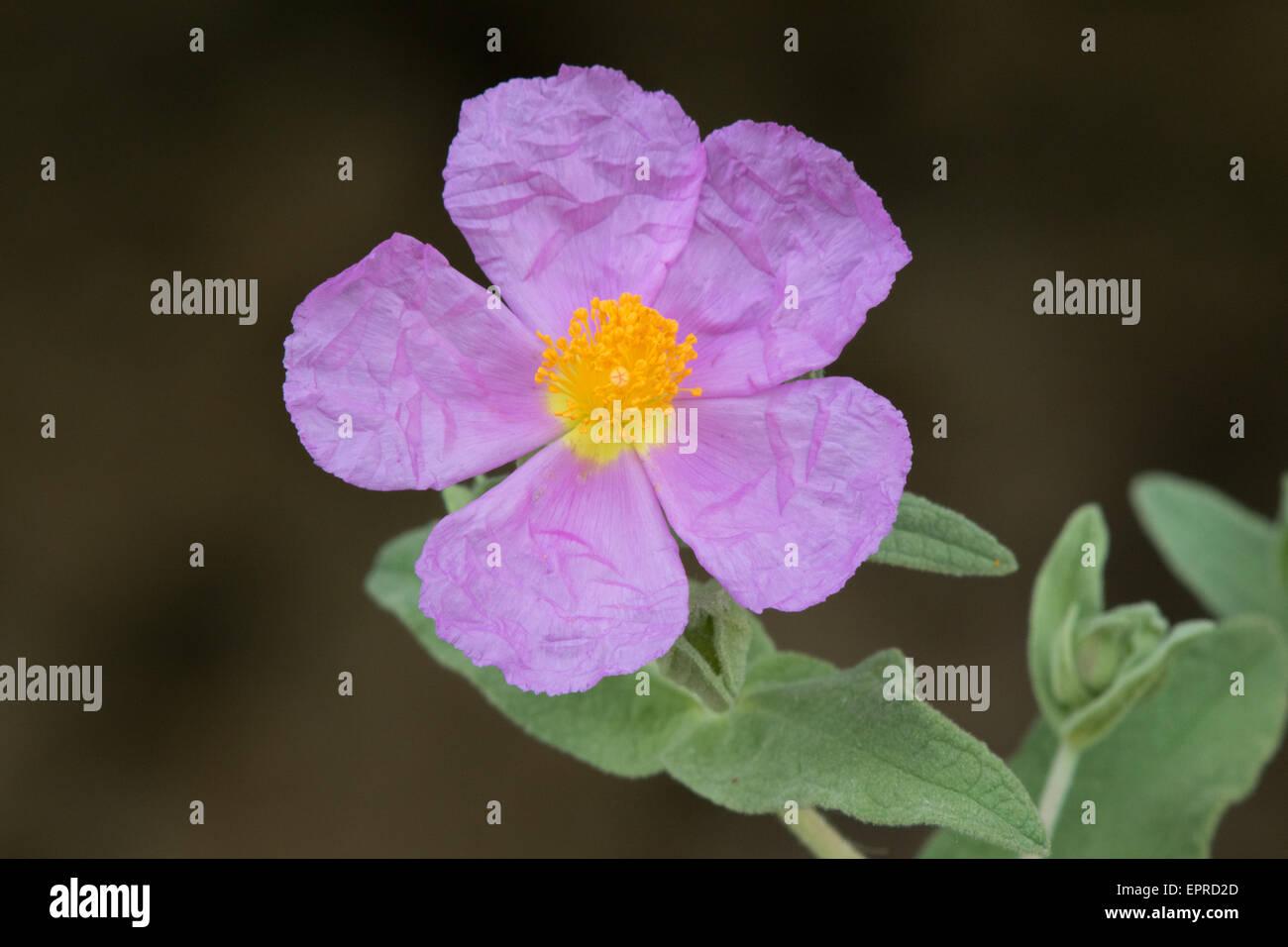 Grey-leaved Cistus (Cistus albidus) flower - Stock Image