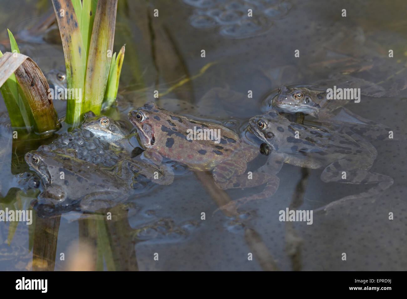 Male common frogs (Rana temporaria) looking for female to mate - Stock Image