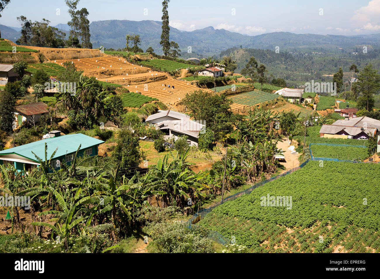 Landscape view of intensively cultivated valley sides, near Nuwara Eliya, Central Province, Sri Lanka, Asia - Stock Image