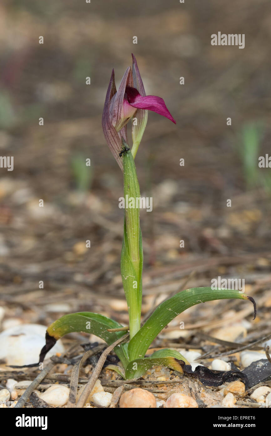Common Tongue Orchid (Serapis lingua) - Stock Image
