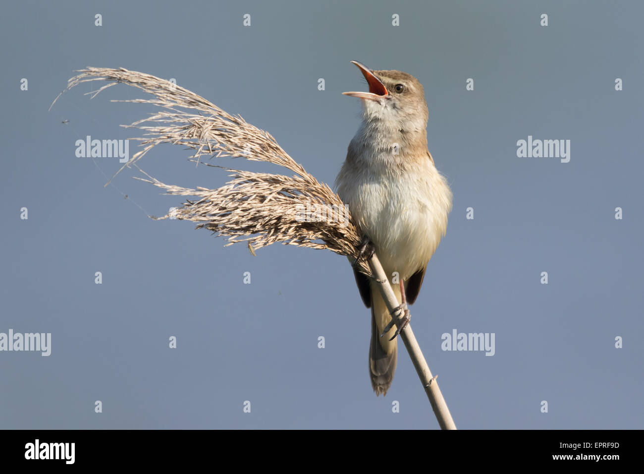 Great Reed Warbler (Acrocephalus arundinaceus) singing from the top of a Phragmites reed Stock Photo