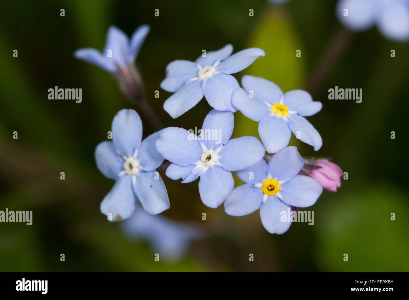 Wood Forget-me-not (Myosotis sylvatica) flower Stock Photo
