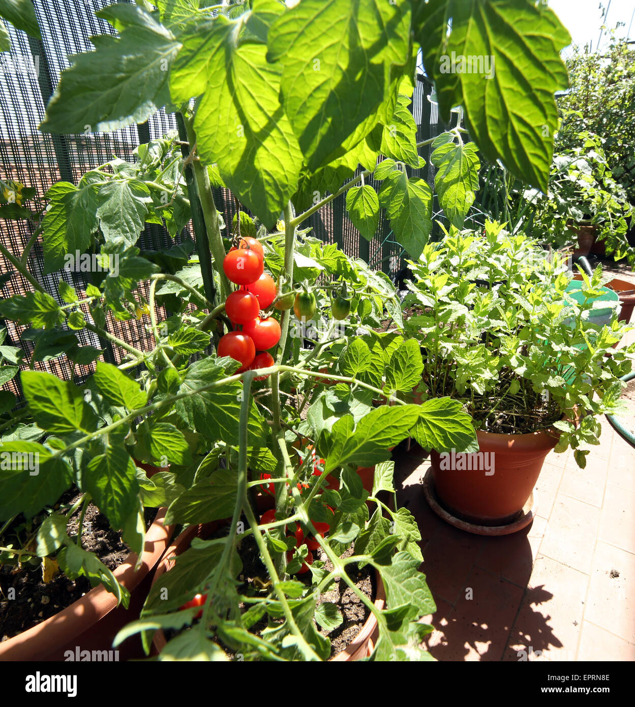 many pots in the balcony garden with tomato plants - Stock Image