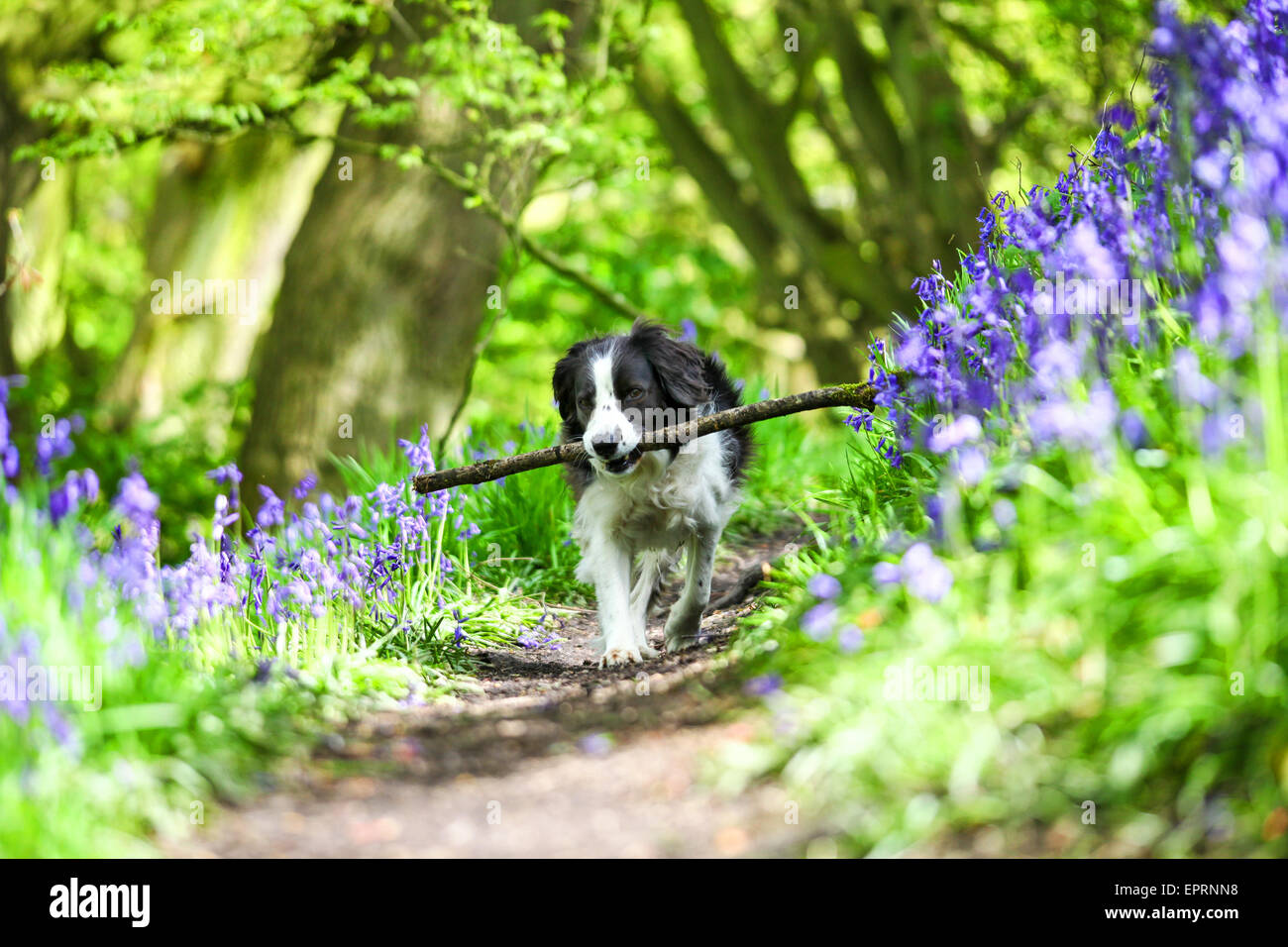 Target Wood, Stoke on Trent, Staffordshire, UK. 21st May 2015. UK Weather: Molly the Border Collie cross enjoying - Stock Image