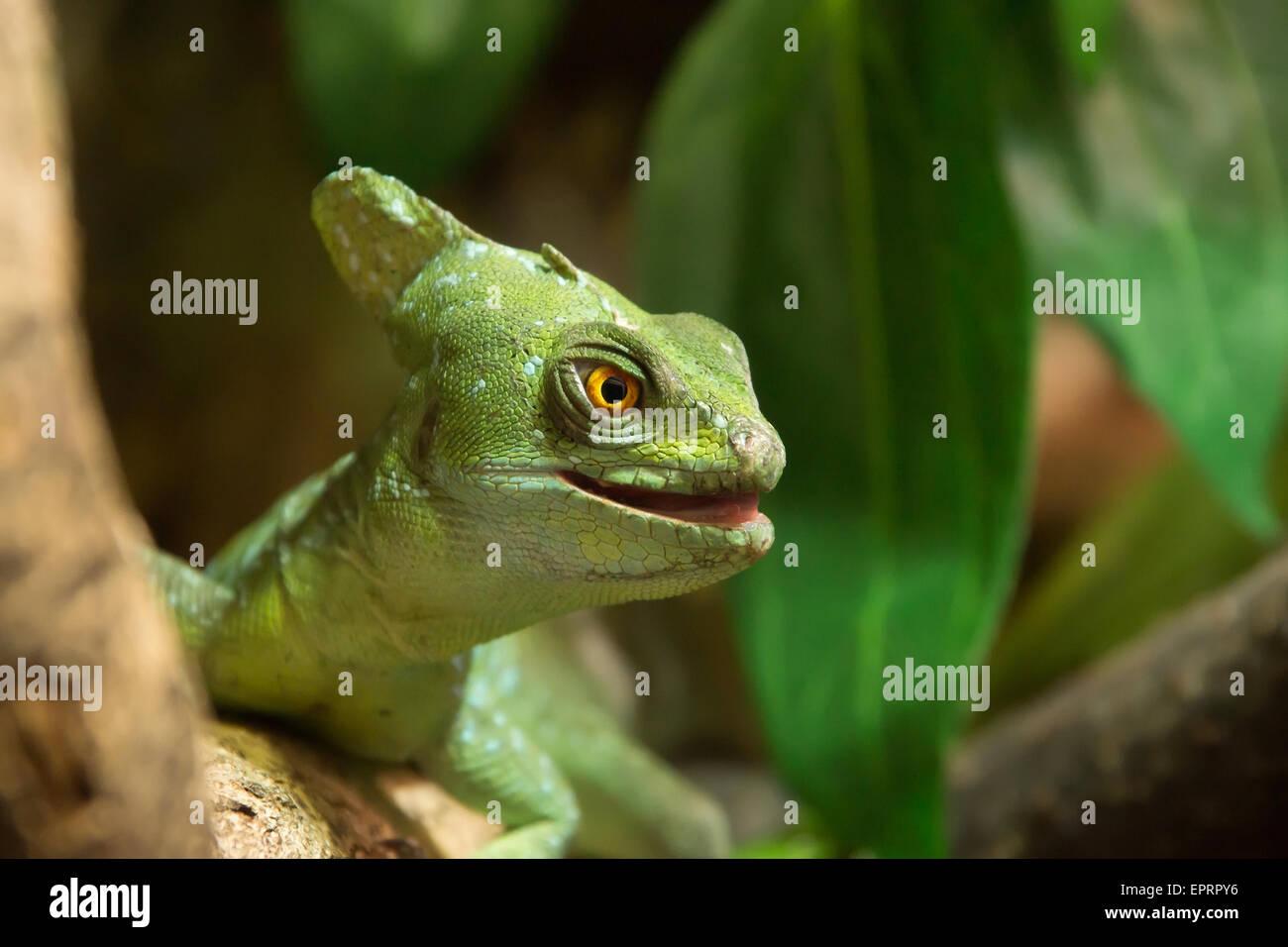 Green basilisk lizard close up ( Basiliscus plumifrons ) Stock Photo