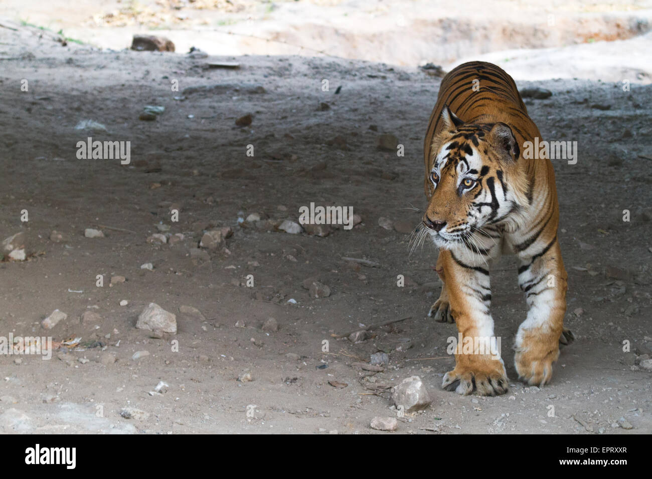 Bamera male tiger (Royal Bengal Tiger or Panthera Tigris Tigris) at Bandhavgarh National Park, MadhyaPradesh, India Stock Photo
