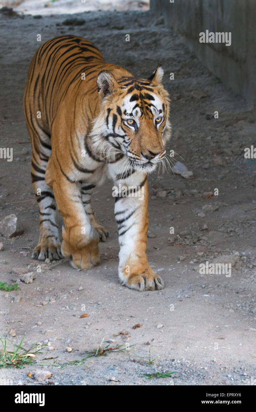 Bamera male tiger  (Royal Bengal Tiger or Panthera Tigris Tigris) at Bandhavgarh National Park, MadhyaPradesh, India - Stock Image