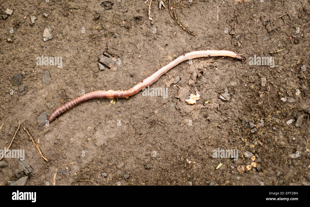 Long earthworm crawls on the surface of fresh rained upon mud - Stock Image