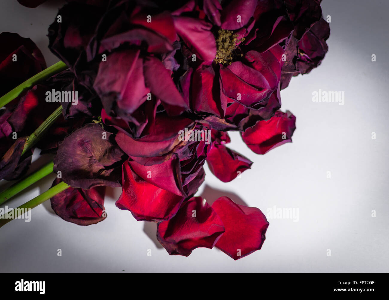 Dying Rose Stock Photos & Dying Rose Stock Images - Alamy