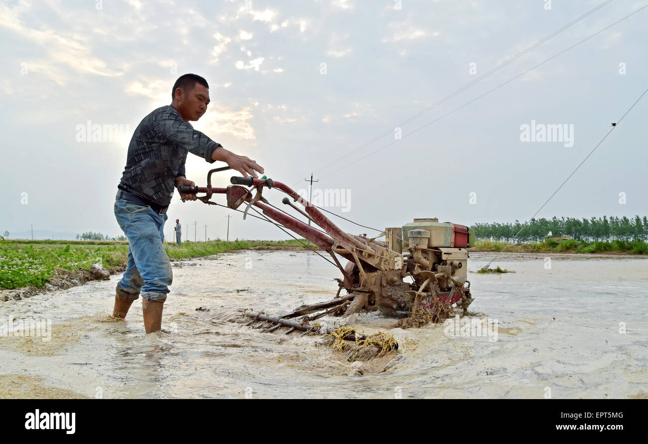 Xiangyang, China. 21st May, 2015. A farmer labor works in the rice field in Xiangyang, Hubei province, China 21th - Stock Image