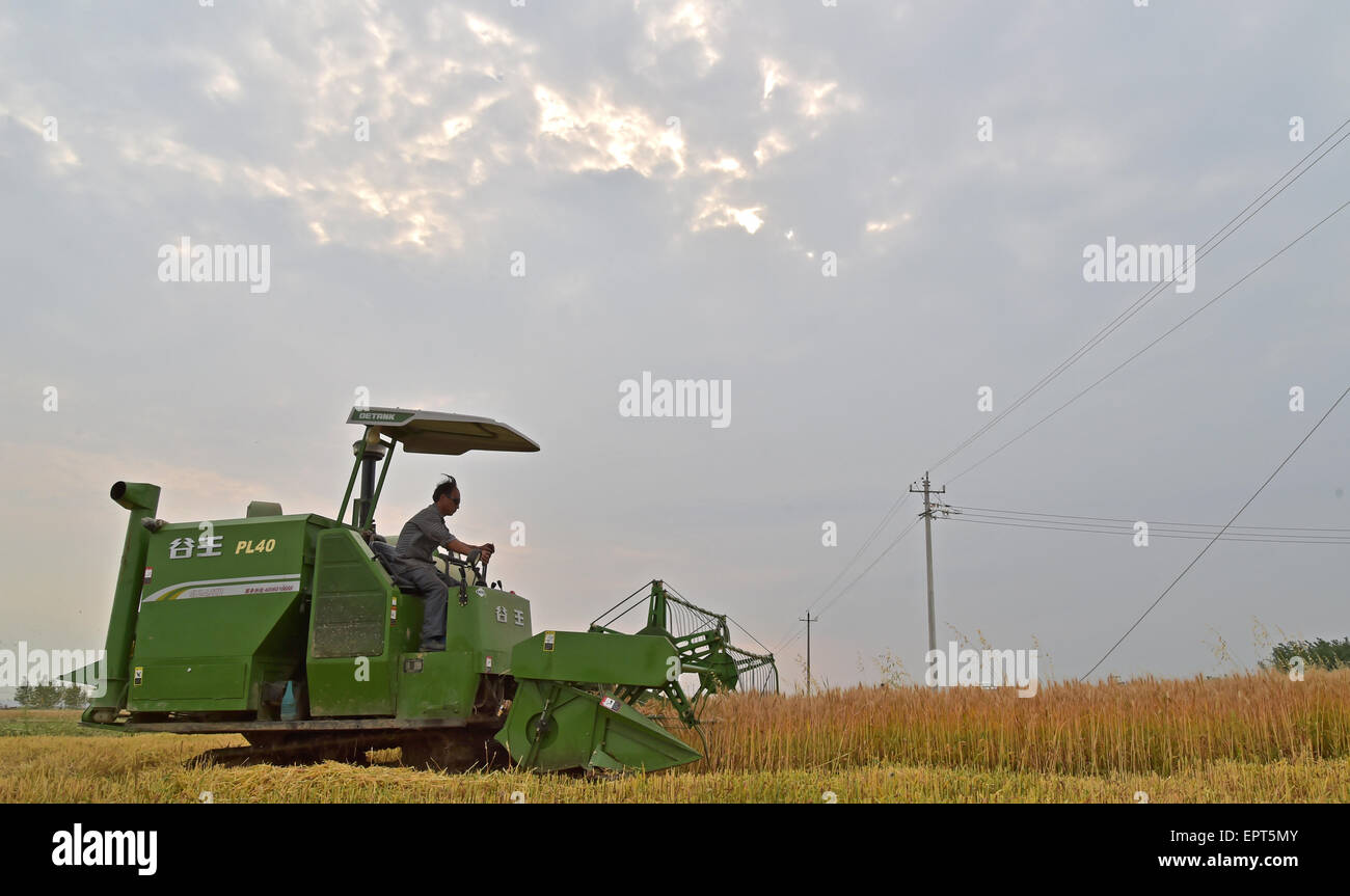 Xiangyang, China. 21st May, 2015. A farmer labor works in the days of wheat harvest in Xiangyang, Hubei province, - Stock Image