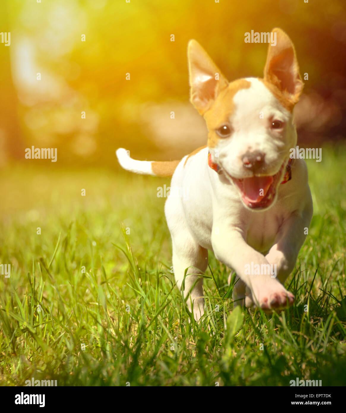 Cute Stafford Puppy Running On Field Stock Photo 82896623 Alamy
