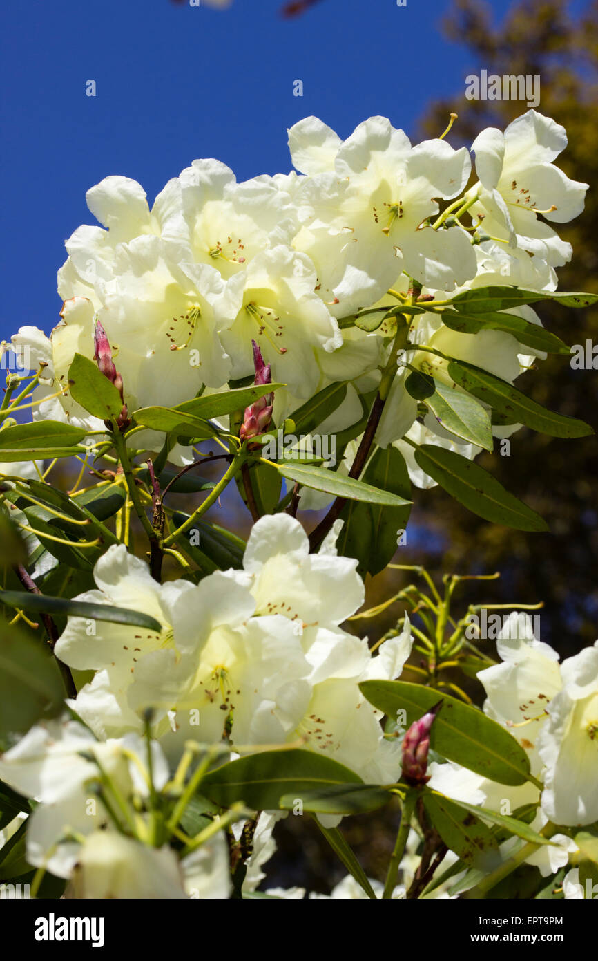 Pale yellow flower trusses of the large leaved evergreen, Rhododendron 'Katharine Fortescue' Stock Photo