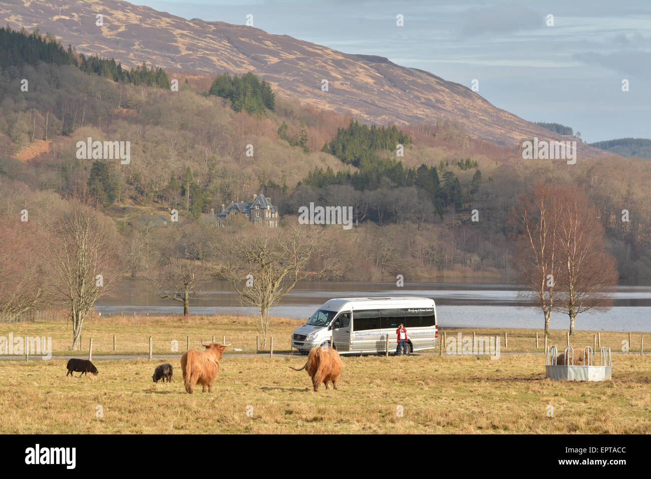 Female tourist taking photos of Highland Cattle by Loch Achray in the Trossachs, Scotland, UK - Stock Image