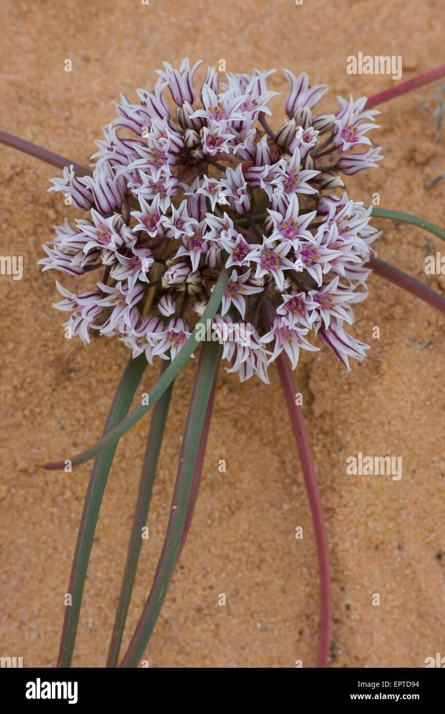 San Juan Onion (Allium textile), blooming, San Rafael Swell, Utah USA Stock Photo
