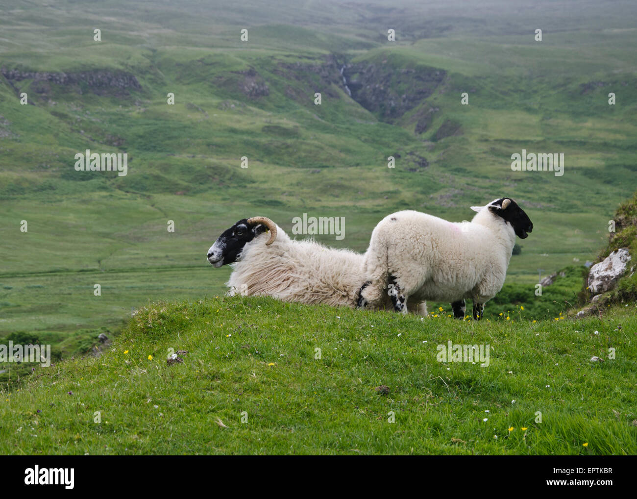Highland Sheep at the Faerie Glen on the Isle of Skye, Scotland. - Stock Image
