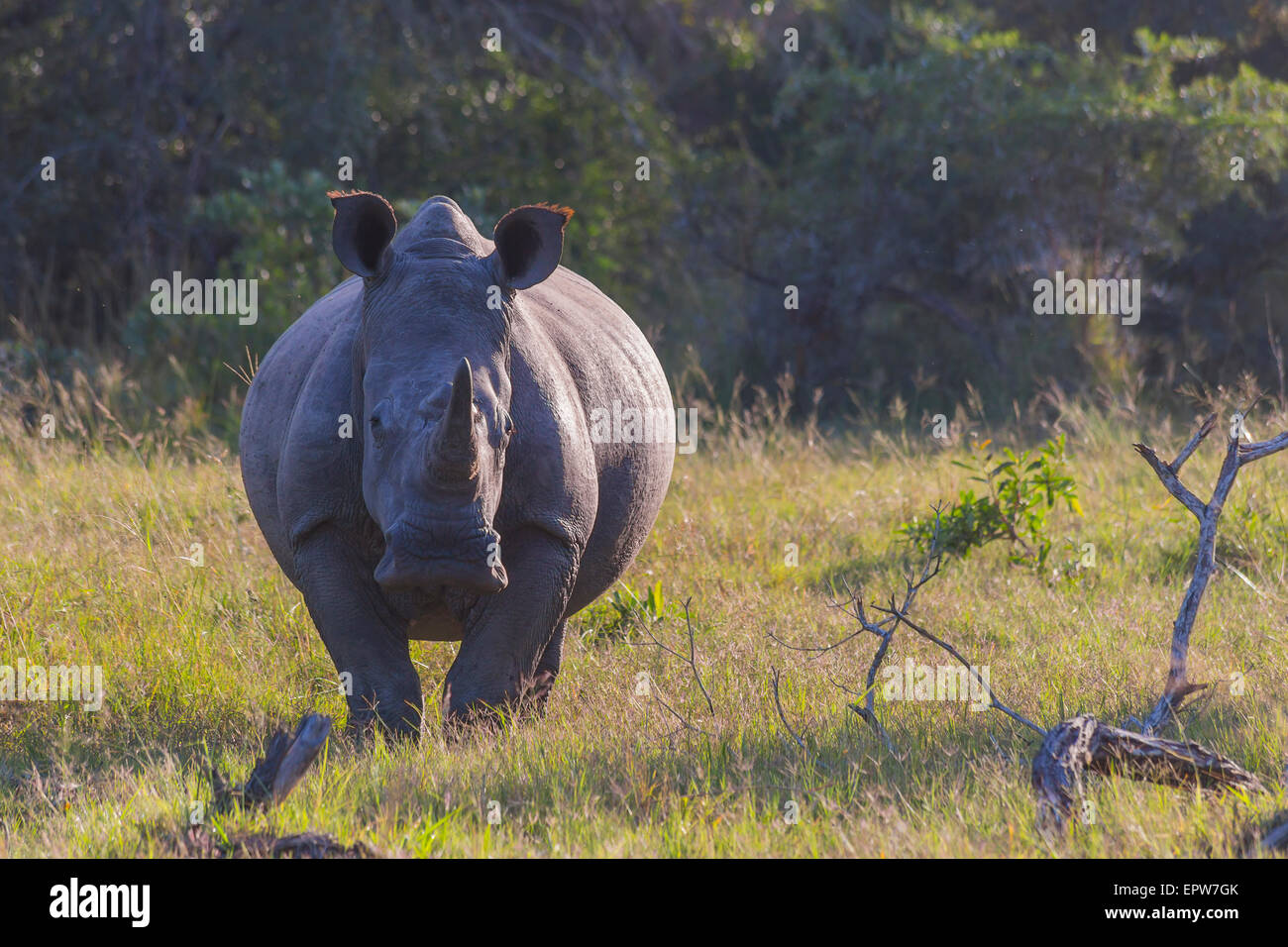 Rhino in the bush on the left in the early morning light - Stock Image