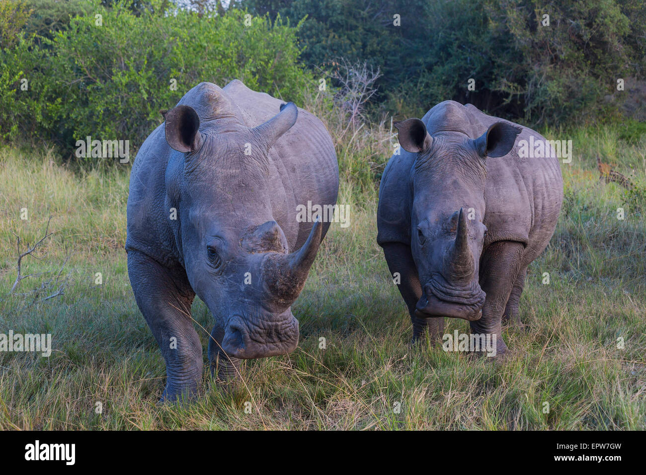 A group of two rhinos in the early morning light - Stock Image
