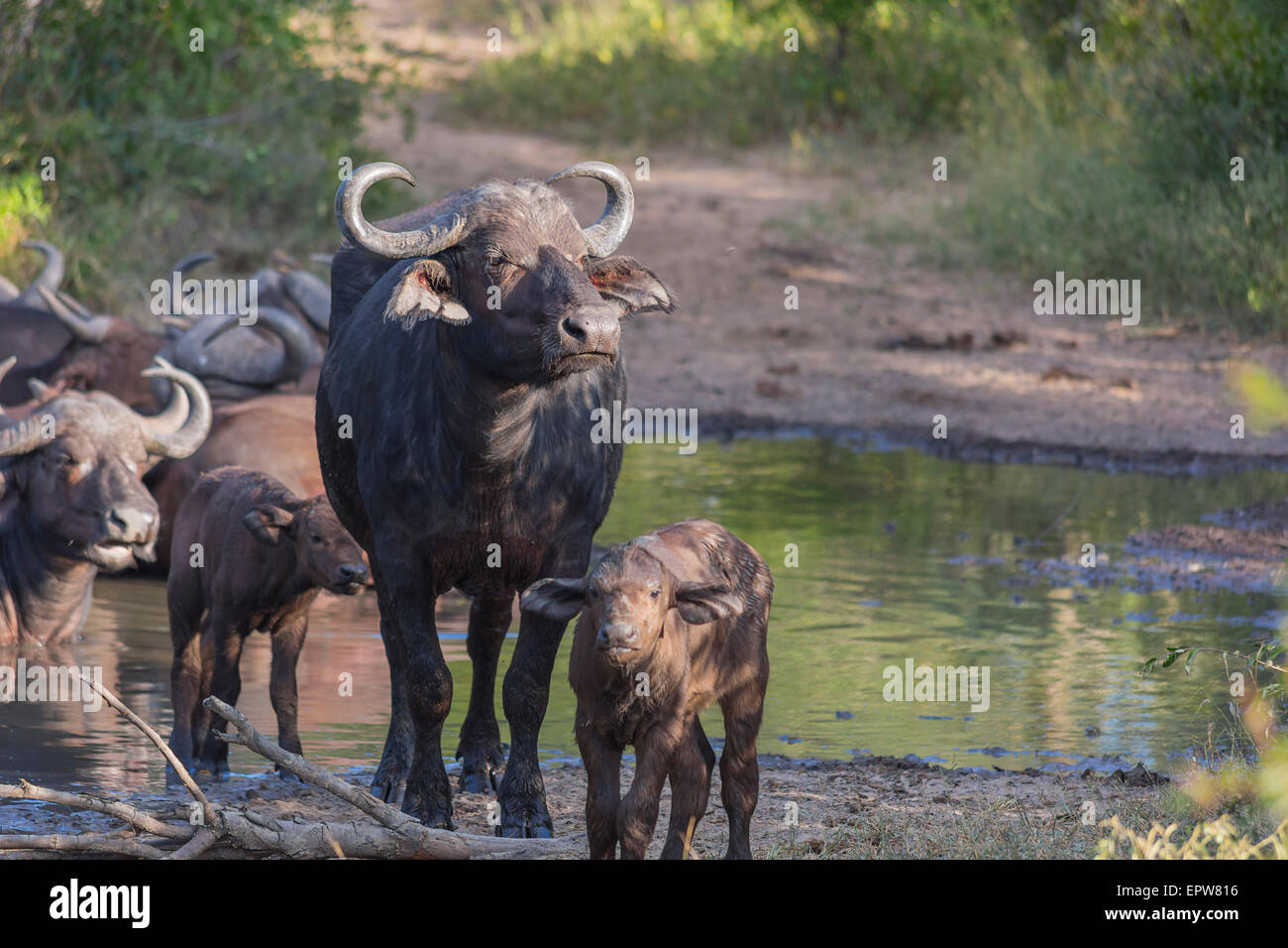 Small herd of buffalo at a waterhole in Africa 1 - Stock Image