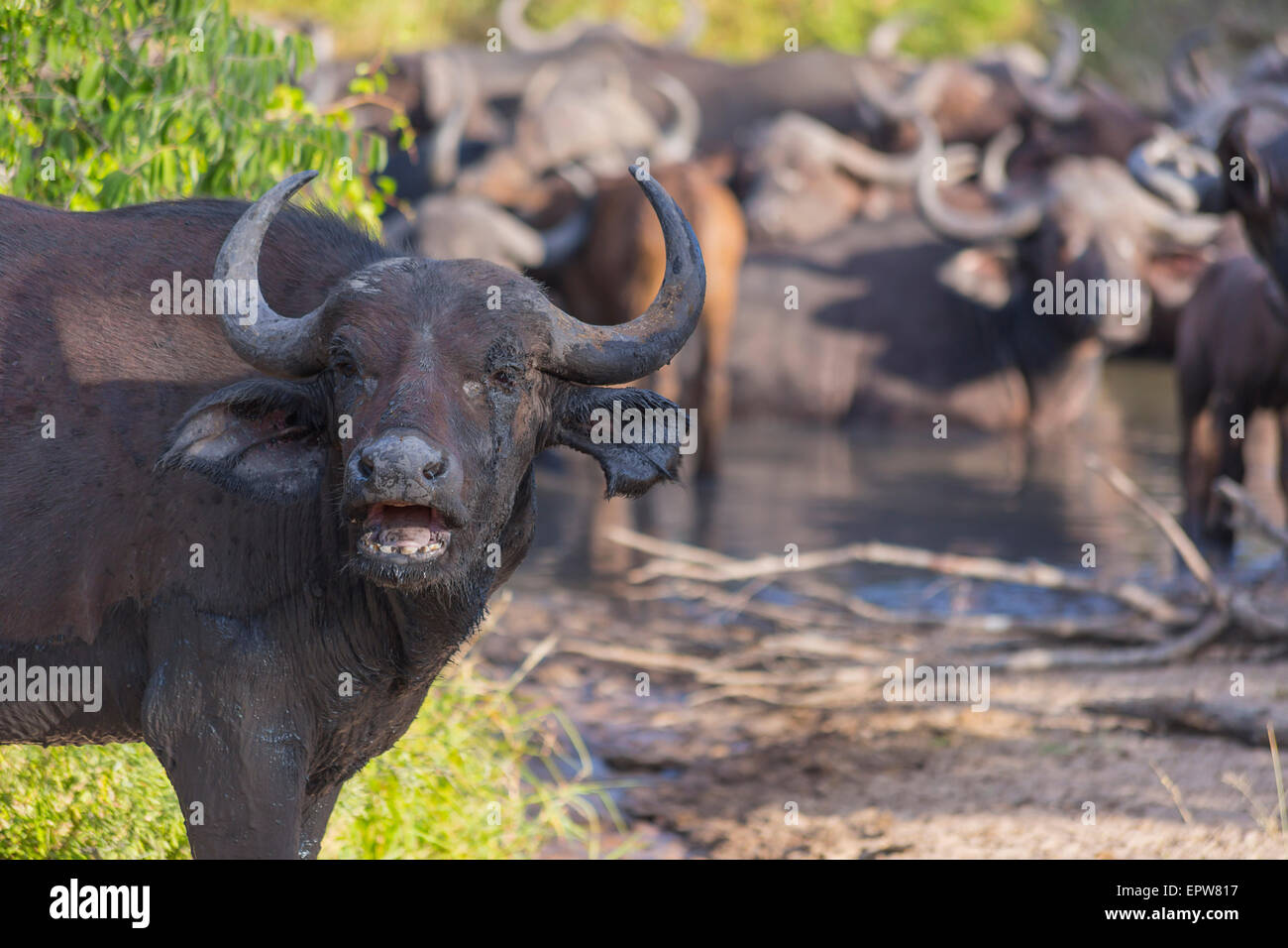 Small herd of buffalo at a waterhole  in Africa 2 - Stock Image