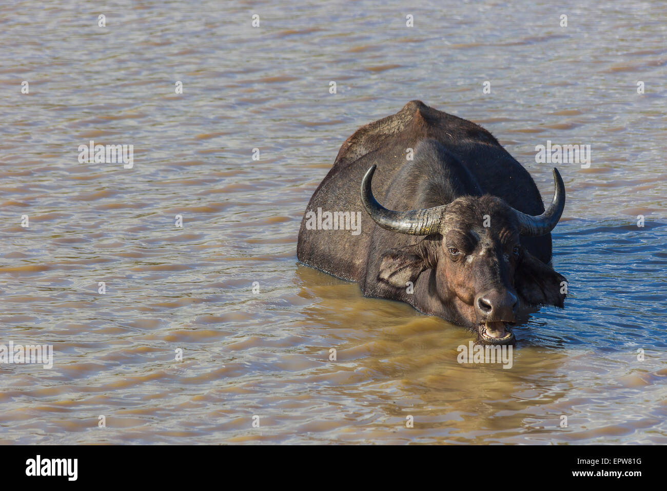Buffalo chewing cud while submerged in a dam of water Stock Photo