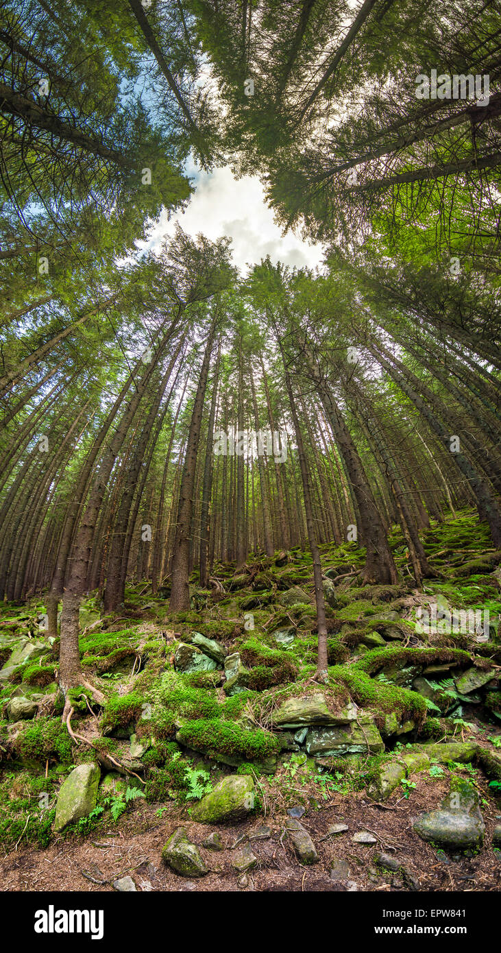 Deep forest overhead view whith unusual angle vertical panorama - Stock Image