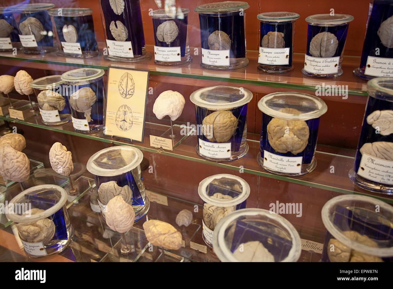 Brains - Galeries d'Anatomie comparée et de Paléontologie - Stock Image