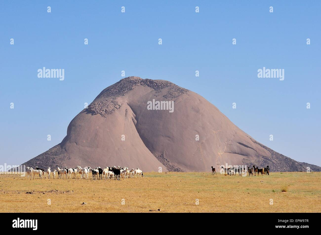 Herd of goats in front of the Aicha monolith in the flat desert, Adrar region, Mauritania - Stock Image