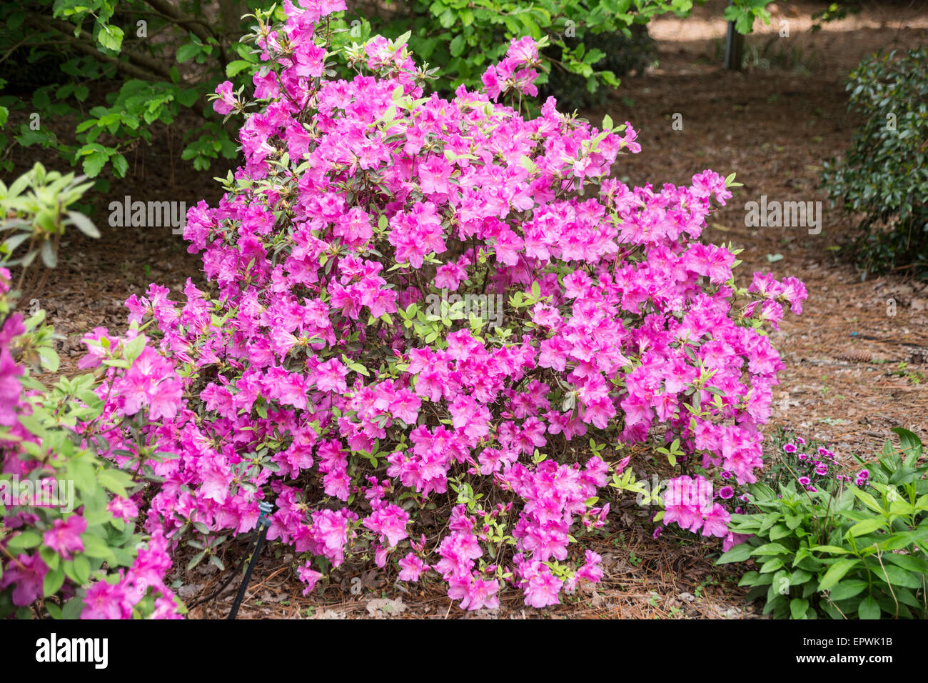 Encore Azalea High Resolution Stock Photography And Images Alamy