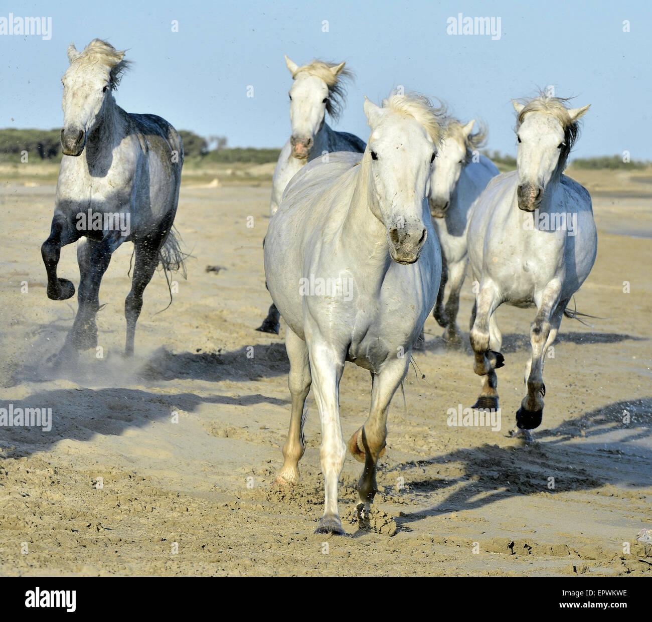 White horses of Camargue running through water. France Stock Photo