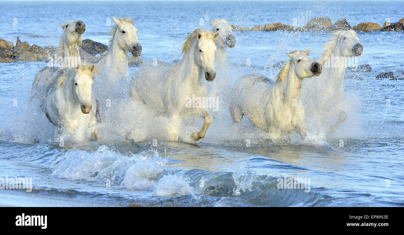 White horses of Camargue running through water. France - Stock Image