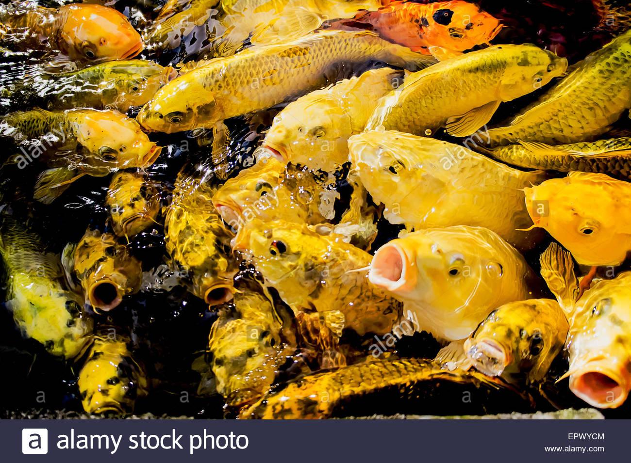 Koi Fish Pond In Jogjakarta Indonesia