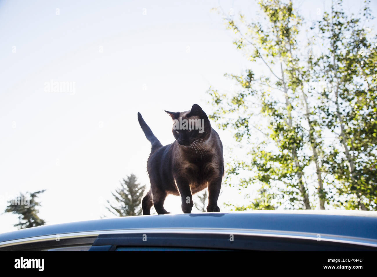 Cat on roof of car - Stock Image