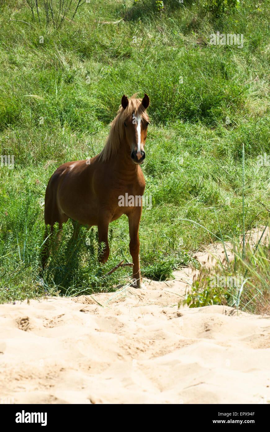 Sorrel horse looking at camera - Stock Image