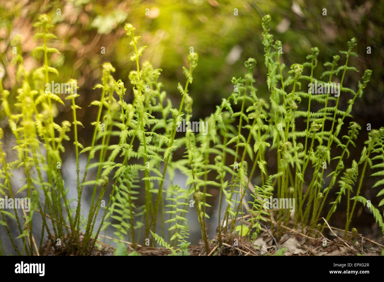 Fern  Made by famous lens Helios 40 with shallow depth of field and
