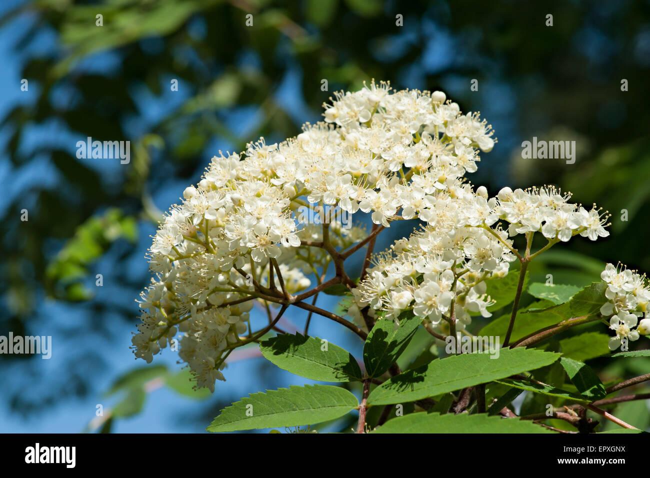 Rowan Tree In Bloom Cluster Of Rowan Tree Flowers Of White Color