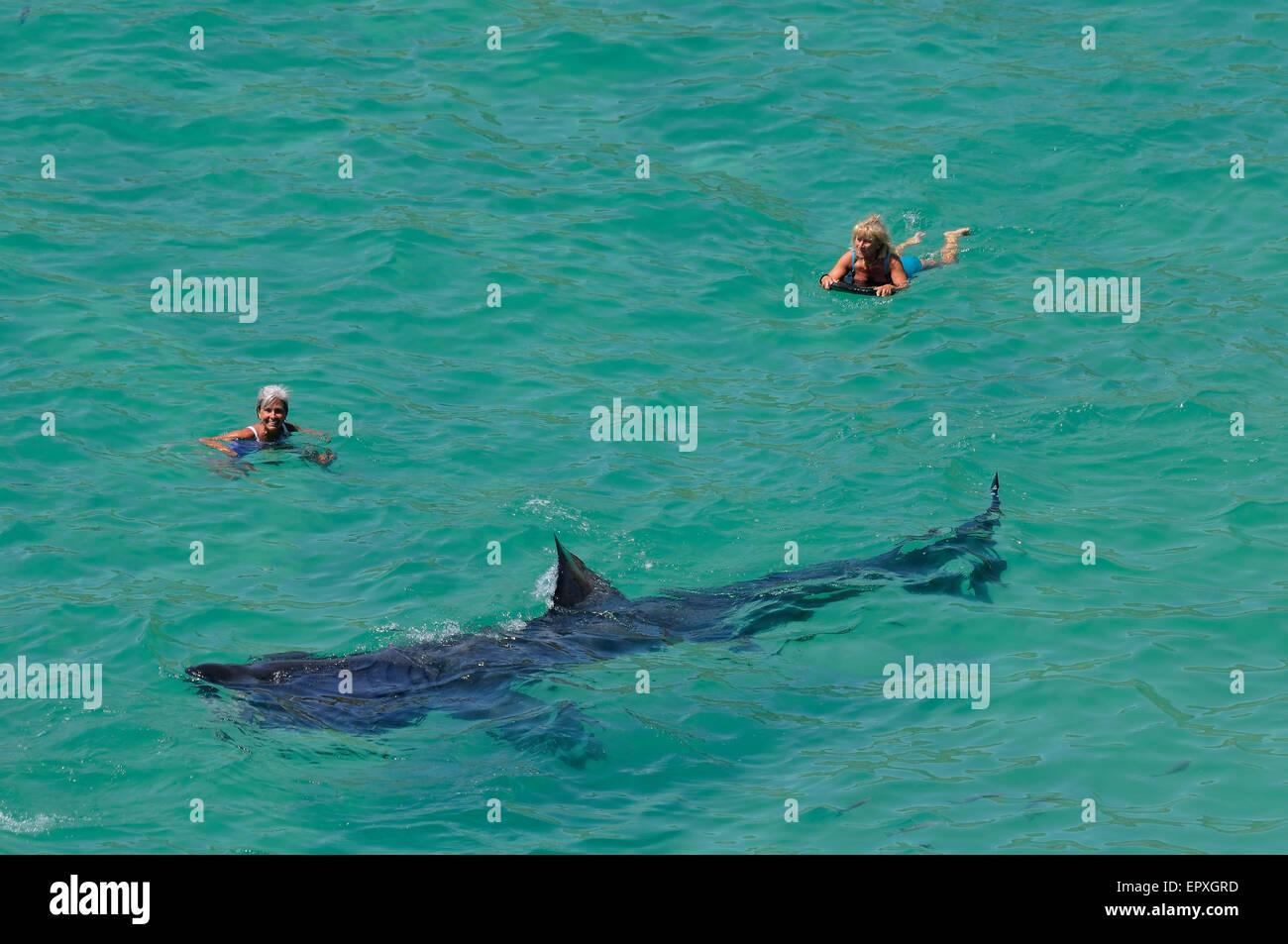 Basking shark near female body borders off the Cornish coast. - Stock Image