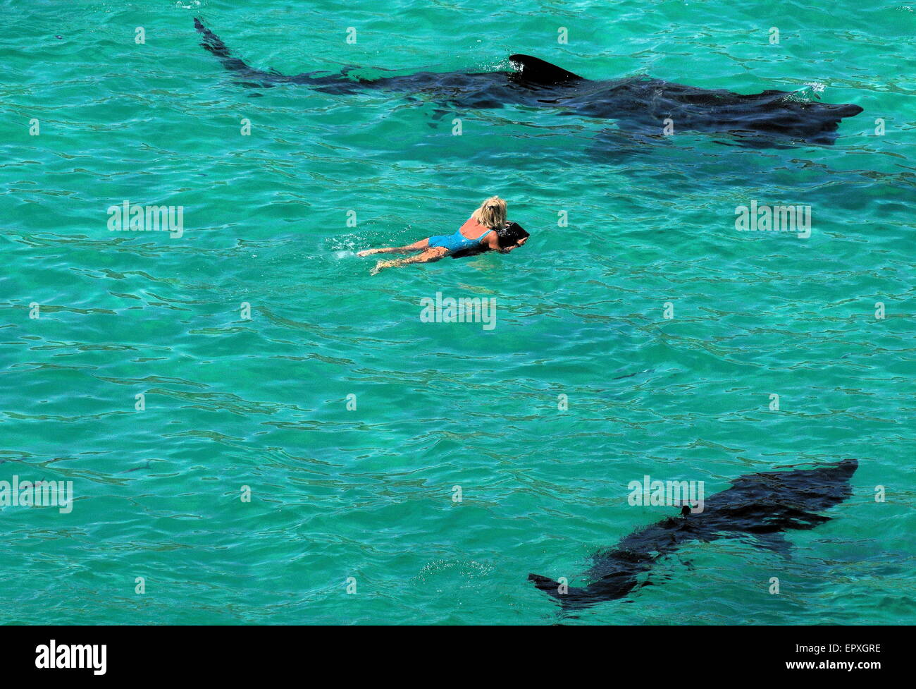 Basking sharks circle female swimmer off the coast of Cornwall - Stock Image