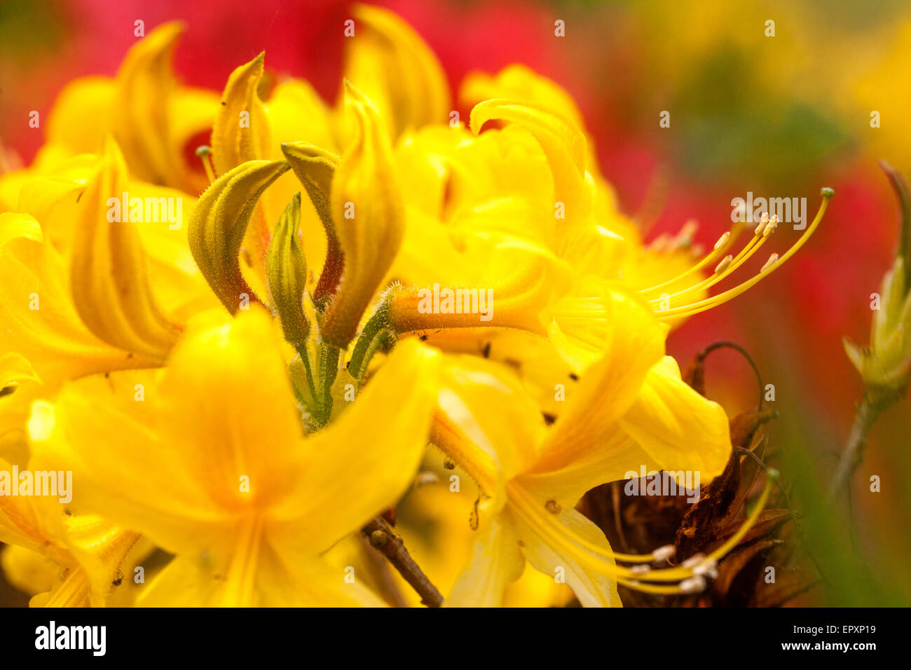 Flowering Rhododendron luteum yellow - Stock Image