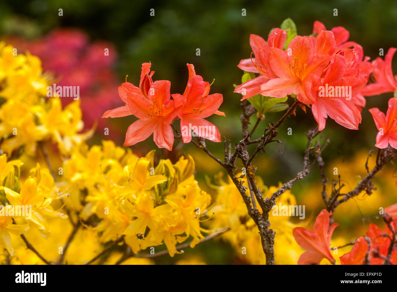 Rhododendron luteum yellow and orange Rhododendron mollis - Stock Image