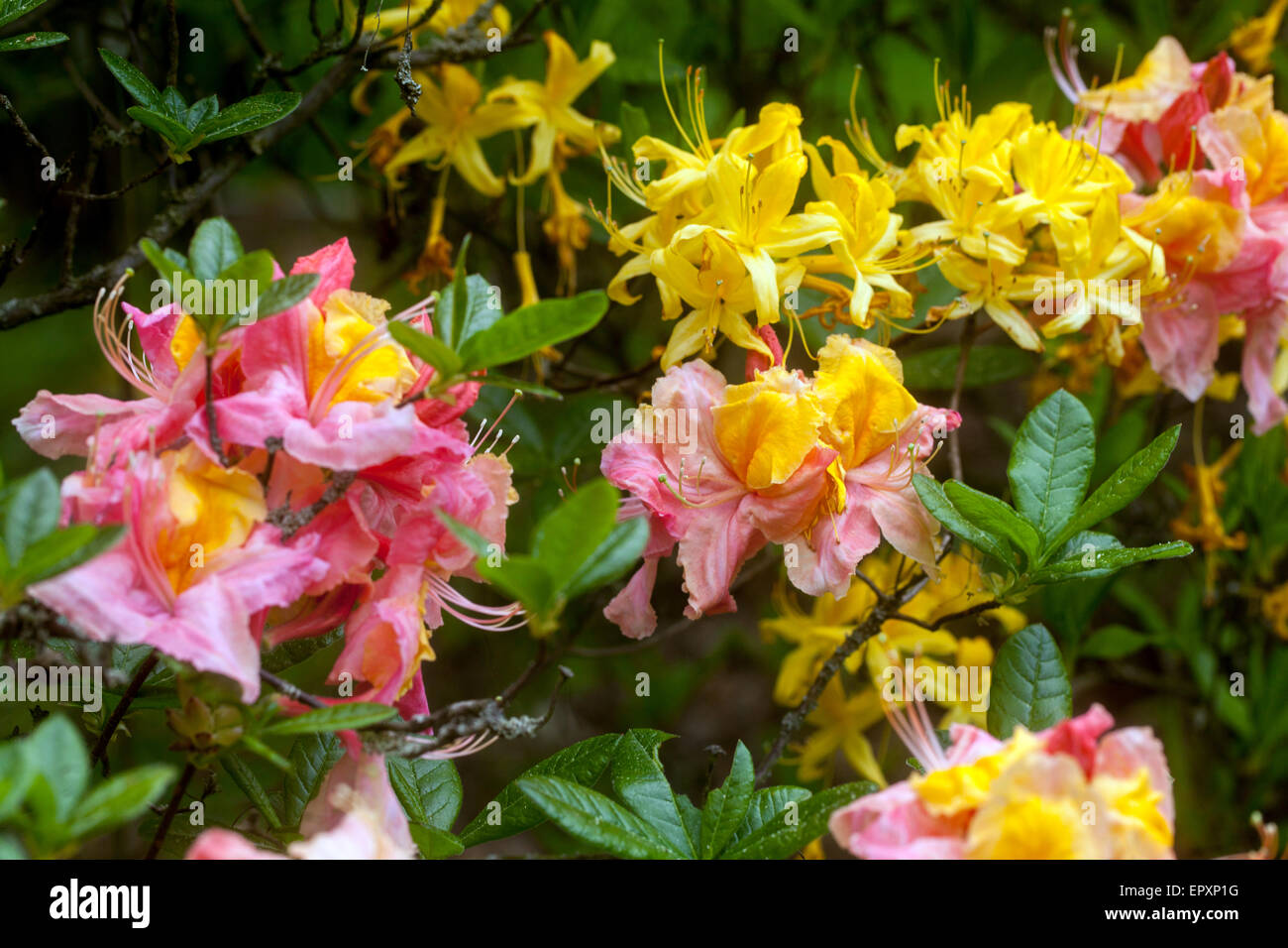Rhododendron luteum yellow blooming Stock Photo